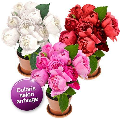 Livraison de fleurs pivoine en pot livraison france for Fleurs livraison demain