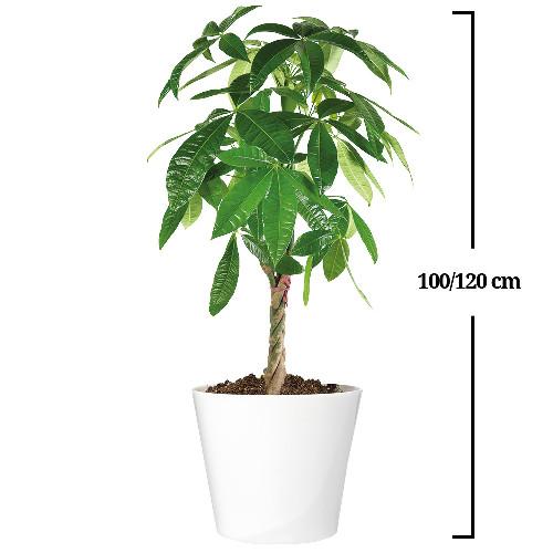 Pachira plantes et arbustes livraison express florajet for Plantes et arbustes