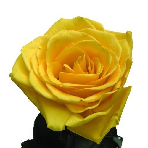 Livraison de rose deesse rose deesse jaune par florajet for Livraison rose