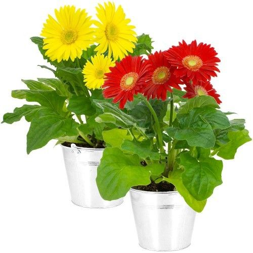 livraison de fleurs 2 germinis en pot livraison france express. Black Bedroom Furniture Sets. Home Design Ideas