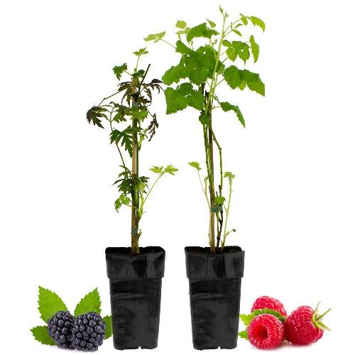 Livraison de fleurs duo framboisier et murier livraison for Livraison de fleurs demain