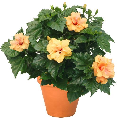 Livraison de fleurs hibiscus for Fleurs livraison demain