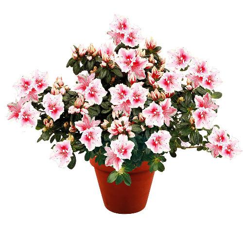 Livraison de fleurs azalee for Fleurs livraison demain