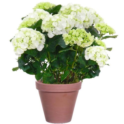 Livraison de fleurs hortensia blanc for Livraison fleurs demain