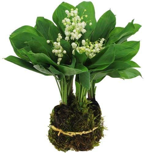 Livraison du bouquet de fleurs 40 brins de muguet des for Bouquet de fleurs muguet