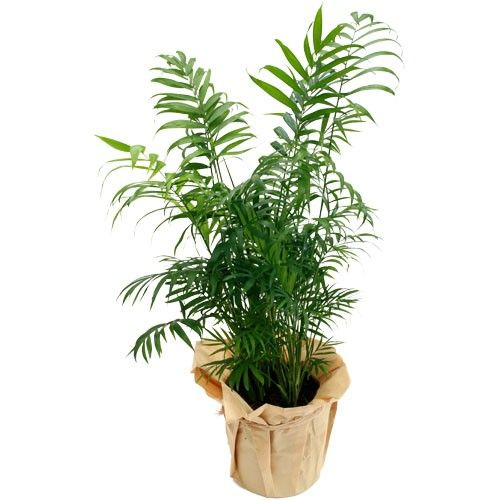 palmier areca plante verte livraison express florajet. Black Bedroom Furniture Sets. Home Design Ideas